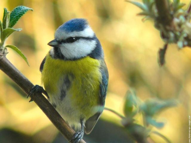 Reconnaitre les oiseaux de nos jardins... Galeri10