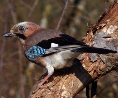 Reconnaitre les oiseaux de nos jardins... Geai-c10