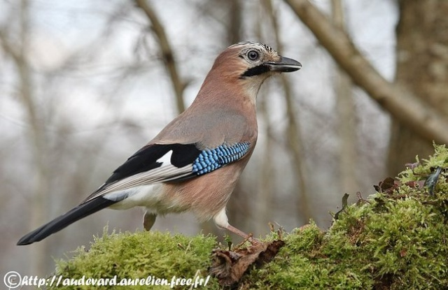 Reconnaitre les oiseaux de nos jardins... Geai_d10