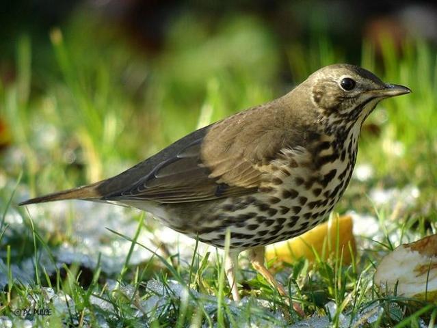 Reconnaitre les oiseaux de nos jardins... Grive_10