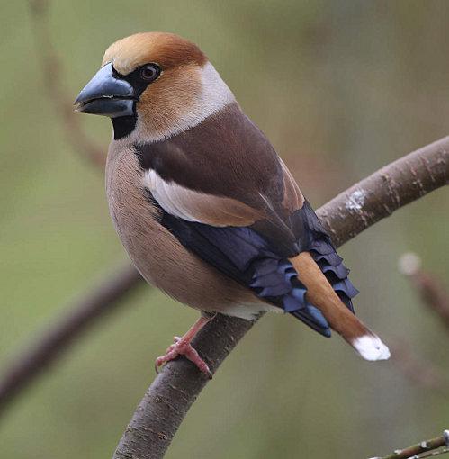 Reconnaitre les oiseaux de nos jardins... Gros_b10