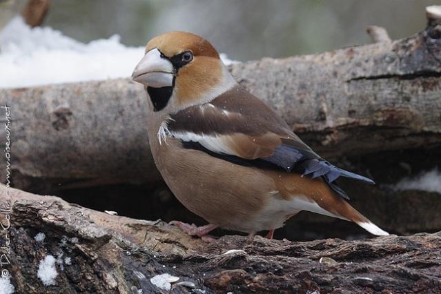 Reconnaitre les oiseaux de nos jardins... Grosbe10