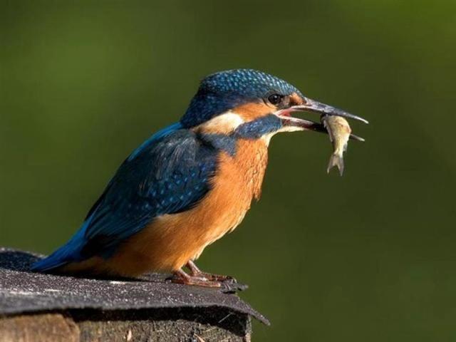 Reconnaitre les oiseaux de nos jardins... Martin10