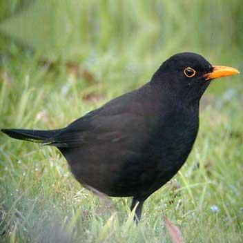 Reconnaitre les oiseaux de nos jardins... Merle_10