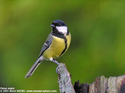Reconnaitre les oiseaux de nos jardins... Mesang10