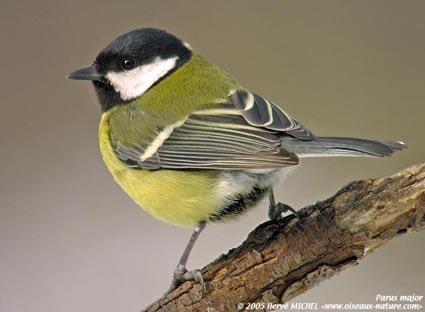 Reconnaitre les oiseaux de nos jardins... Mesang11