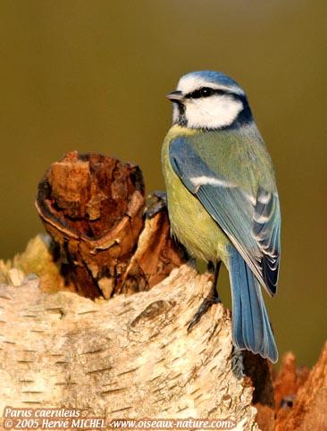 Reconnaitre les oiseaux de nos jardins... Mesang12