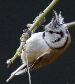 Reconnaitre les oiseaux de nos jardins... Mesang14