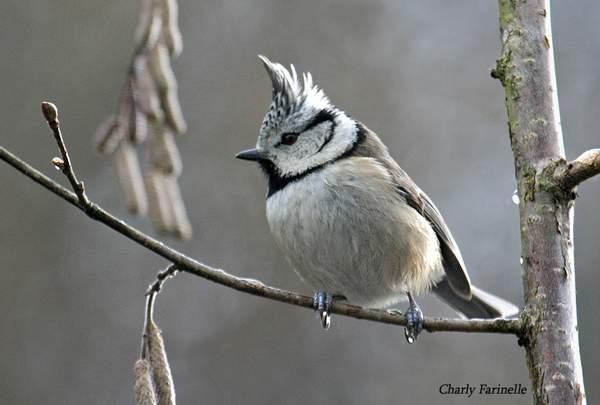 Reconnaitre les oiseaux de nos jardins... Mesang15