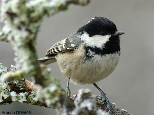 Reconnaitre les oiseaux de nos jardins... Mesang16