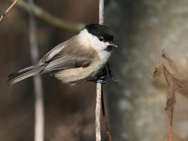 Reconnaitre les oiseaux de nos jardins... Mesang17