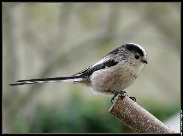 Reconnaitre les oiseaux de nos jardins... Mesang18