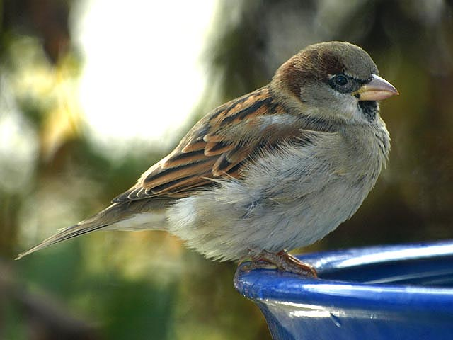 Reconnaitre les oiseaux de nos jardins... Moinea10