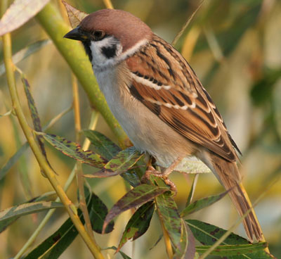 Reconnaitre les oiseaux de nos jardins... Moinea11