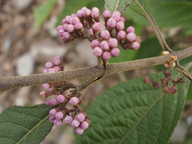 Callicarpa Arbuste aux bonbons P1010132