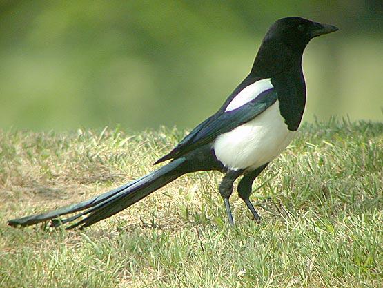 Reconnaitre les oiseaux de nos jardins... Pie810