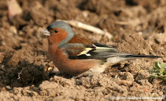 Reconnaitre les oiseaux de nos jardins... Pinson10