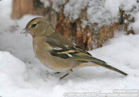 Reconnaitre les oiseaux de nos jardins... Pinson11