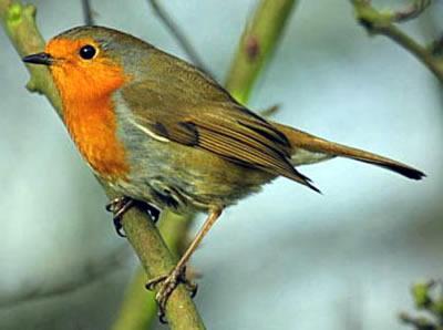 Reconnaitre les oiseaux de nos jardins... Rouge_10