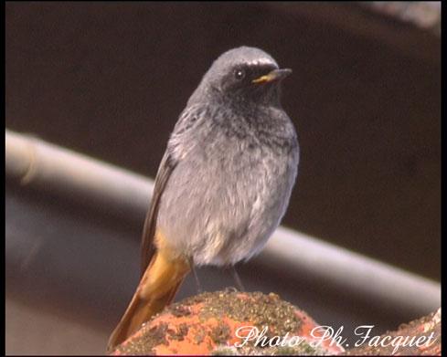 Reconnaitre les oiseaux de nos jardins... Rougeq10