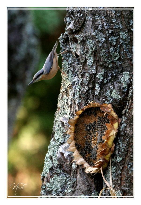 Reconnaitre les oiseaux de nos jardins... Sitell10