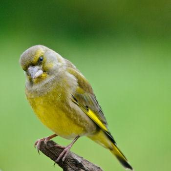 Reconnaitre les oiseaux de nos jardins... Verdie10