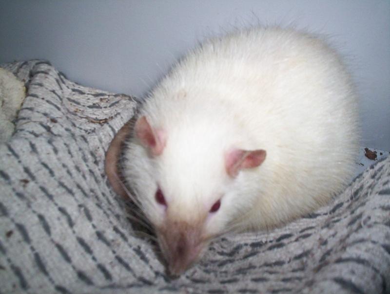 Les différents marquages du rat 101_5210