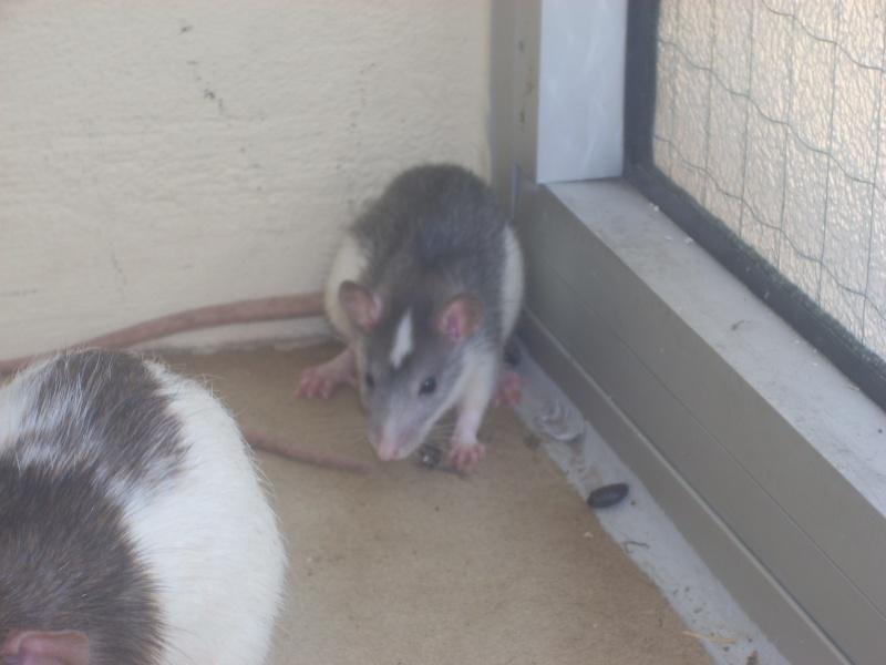 Les différents marquages du rat Dscn0811