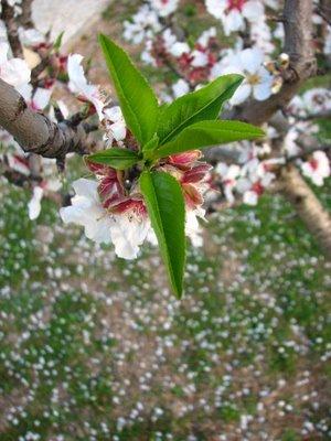 T. Moncorvo prepara-se para festividades: Amendoeira em Flor Amendo10