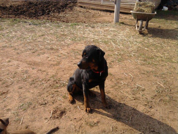 Théo rottweiler de 3ans1/2 (13) 250269700352313 Non LOF Diffu_11