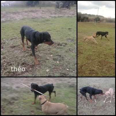 Théo rottweiler de 3ans1/2 (13) 250269700352313 Non LOF Thao10
