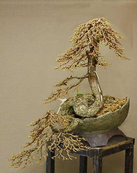 new pot for Larix cobra Larix_12