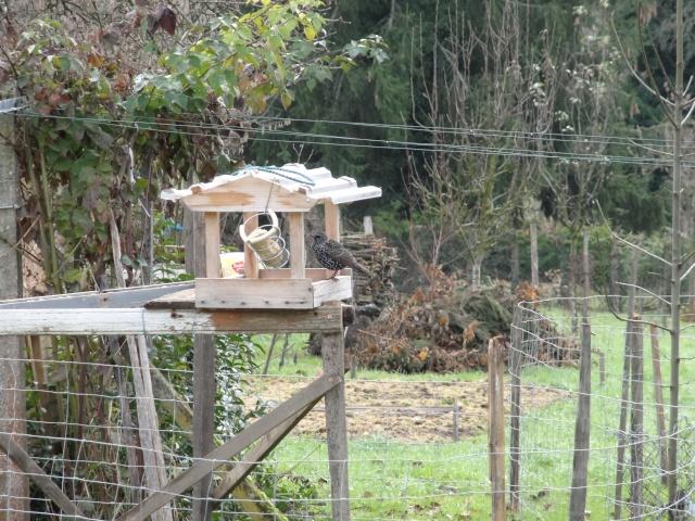 Les oiseaux  du jardin  . Dsc00312