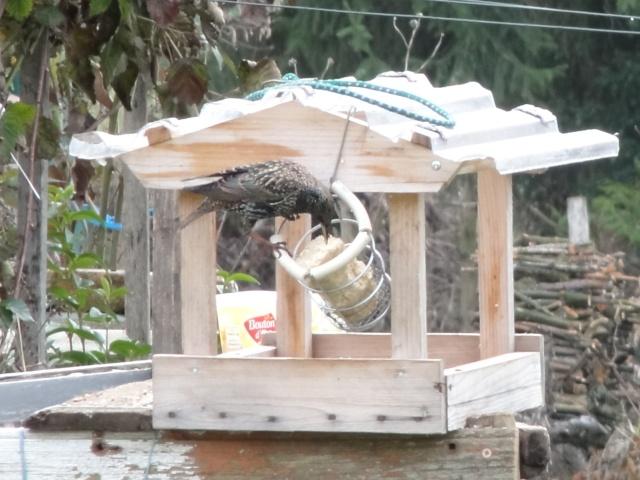Les oiseaux  du jardin  . Dsc00313
