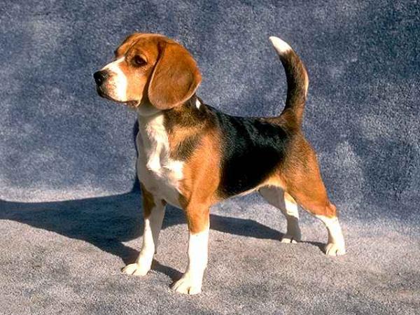 Bigl(Beagle) 6f10f010