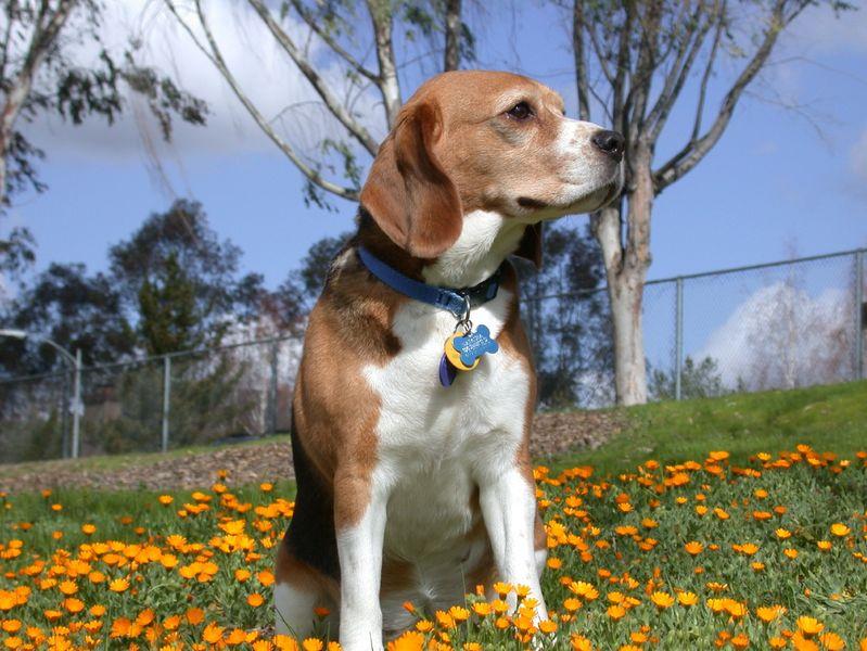 Bigl(Beagle) 799px-10