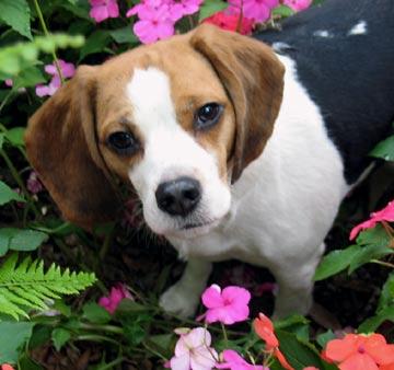 Bigl(Beagle) Beagle10