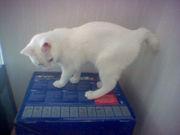 Manx ou chat de l'île de Man Ma10