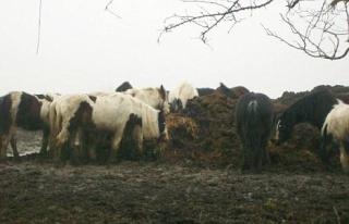 Zoologie maltraitance 250 chevaux équidés équestre équitation famine forum sauvage gypsie gitan horse invasions mort hécatombe RSPCA Jenny Macgregor Bridgend royaume uni Galles du Sud