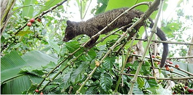 zoologie amateur de café civette kopi luwak plus petit producteur au monde mammifère forum digestion nectar Sumatra Indonésie Luwak Viverra tangalunga