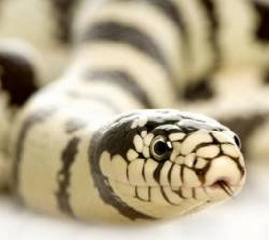 reptile morsure australienne Nicole Haynes zoologie Winmalee forum décembre 2010 venimeux serpent mort