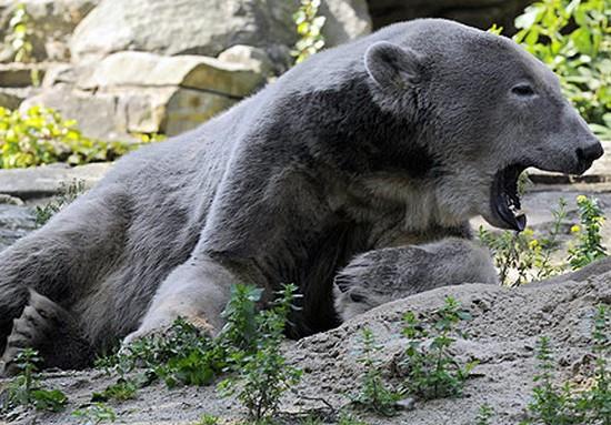 zoologie pizzly grolar prizzly arctique hybridation ours polaire grizzly Ursus maritimus Ursus arctos horribilis disparition d'espèce accouplement forum