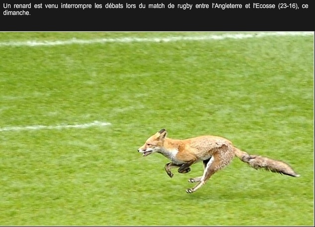 zoologie renard roux twickenham england scotland ecosse angleterre royaume uni rugby intrusion mammifère Vulpes vulpes terrain forum