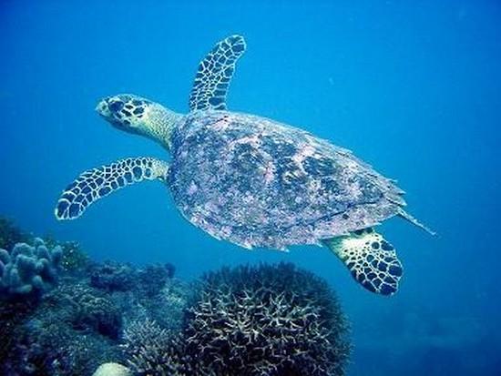zoologie turtle tortue luth tortue verte Polynésie française autoriser la pêche aux tortues marines novembre 2010 voie de disparition extinction reptile braconnage viande de tortue