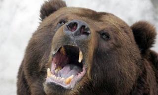 zoologie insolite ours brun russie douane douanier ukraine vol bearnapping Belgorod renault kangoo forum