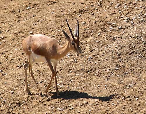 Convoi de gazelles Gazell11