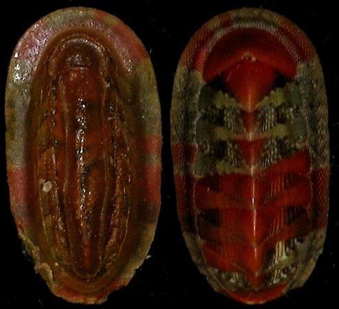 Chiton crawfordi - Sykes, 1899 & 2 autres spécimens Chiton10