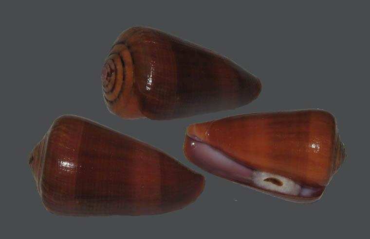 Conus (Darioconus) lohri   Kilburn, 1972 Conus_10