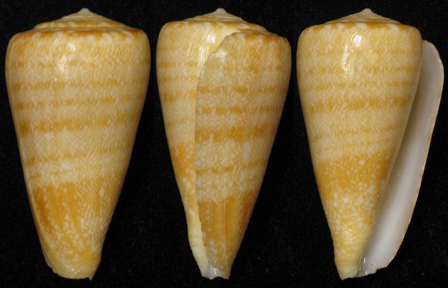 Conus (Leptoconus) natalis GB Sowerby II, 1858 Conus_11