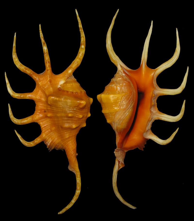 Lambis crocata - (Link, 1807) Crocat10